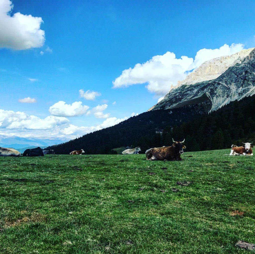 mucche al latemar