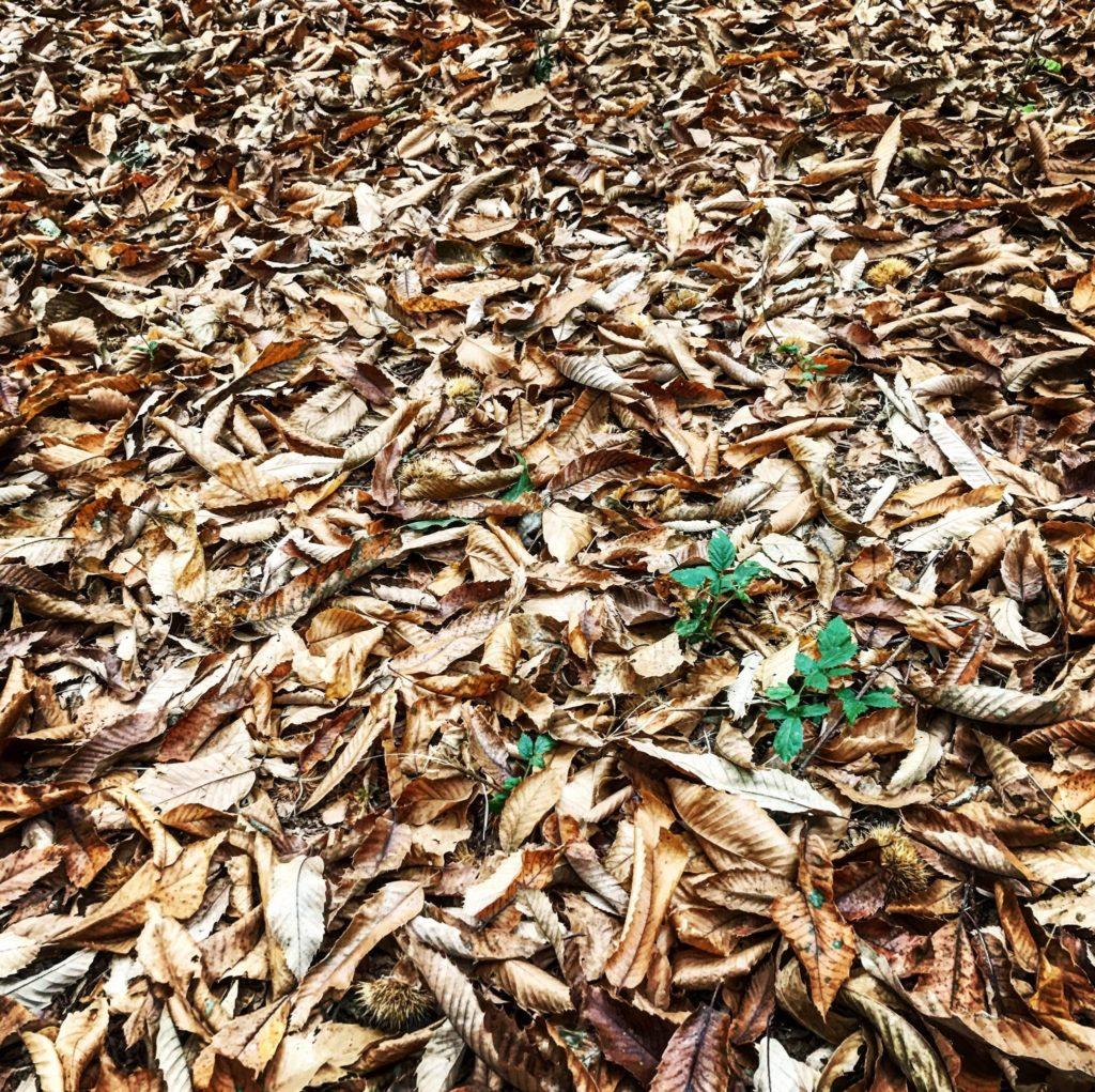 raccogliere castagne in un bosco