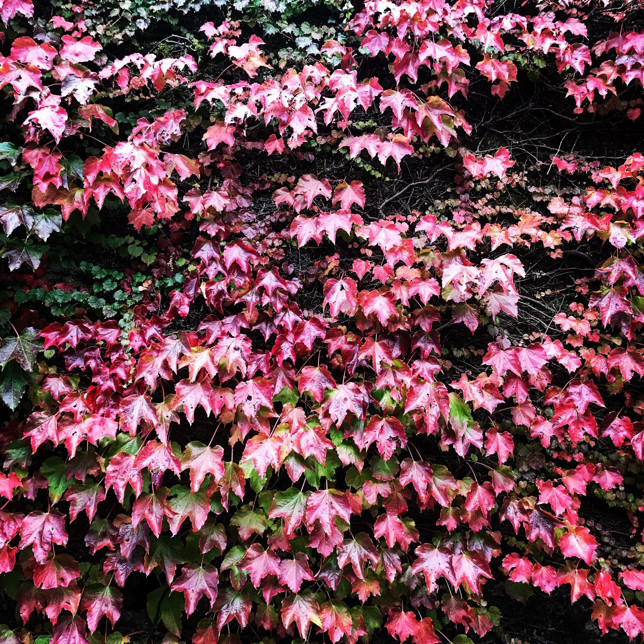 foglie rosse di ottobre